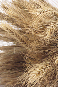 Wheat straw, which is treated, combined with recycled fibers and turned into boxes for Dell, courtesy photo.